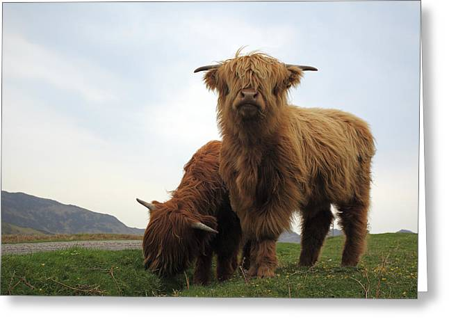 Scottish Highlands Greeting Cards - Highland Cows Greeting Card by Grant Glendinning