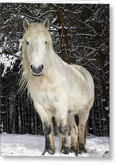 Equus Caballus Greeting Cards - Highland Pony Greeting Card by Duncan Shaw