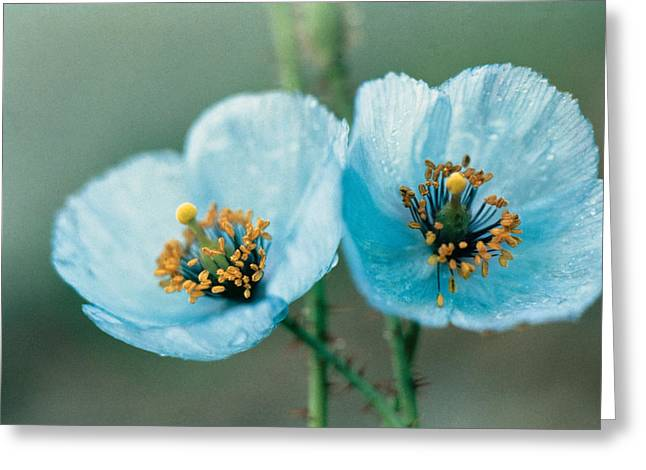 Drops Greeting Cards - Himalayan Blue Poppy Greeting Card by American School