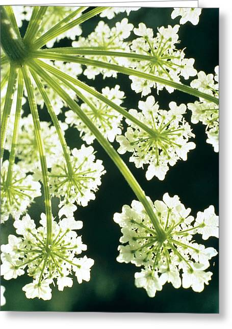 Flower Blossom Photographs Greeting Cards - Himalayan Hogweed Cowparsnip Greeting Card by American School