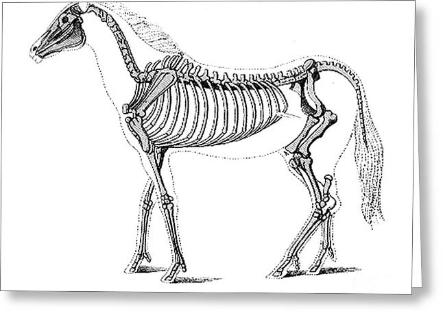 Pre-restoration Greeting Cards - Hipparion, Cenozoic Mammal Greeting Card by Science Source