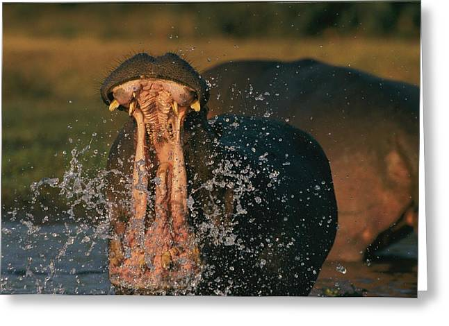 Wild Animal Greeting Cards - Hippopotamus Hippopotamus Sp., Zambezi Greeting Card by Chris Johns