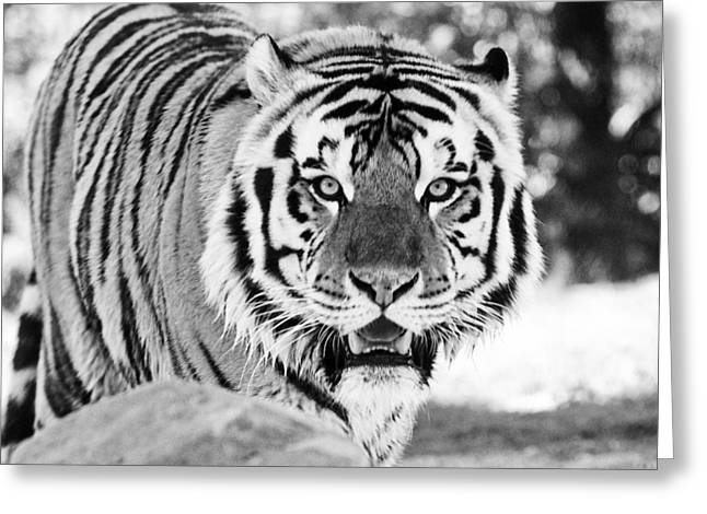 Mike The Tiger Greeting Cards - His Majesty Greeting Card by Scott Pellegrin