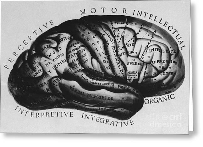 Lobes Greeting Cards - Historical Drawing Of Brain Greeting Card by Science Source