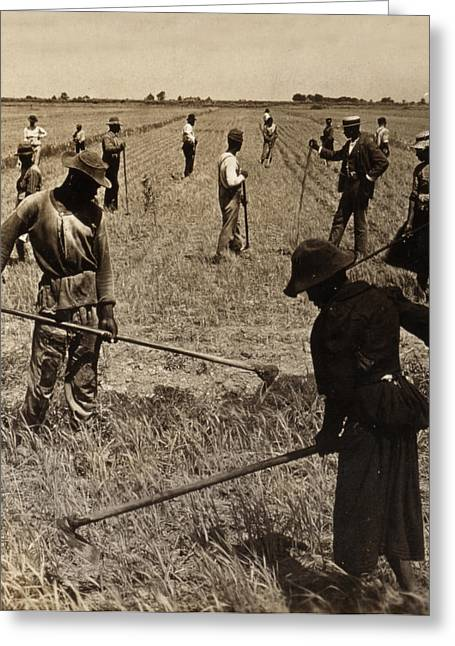 Sharecropper Greeting Cards - Hoeing Rice in South Carolina - c 1904 Greeting Card by International  Images