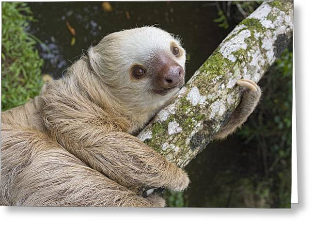 Aviarios Sloth Sanctuary Greeting Cards - Hoffmanns Two-toed Sloth Costa Rica Greeting Card by Suzi Eszterhas