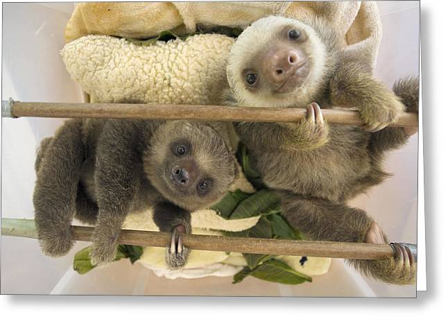 Aviarios Sloth Sanctuary Greeting Cards - Hoffmanns Two-toed Sloth Orphaned Babies Greeting Card by Suzi Eszterhas