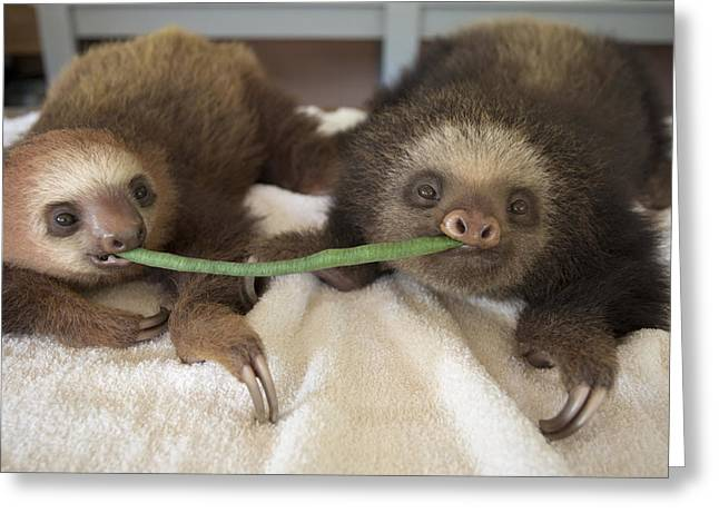 Aviarios Sloth Sanctuary Greeting Cards - Hoffmanns Two-toed Sloth Orphans Eating Greeting Card by Suzi Eszterhas