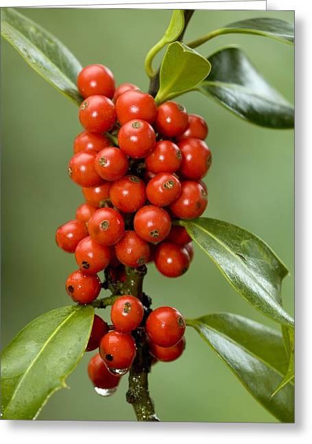 Biology Greeting Cards - Holly Berries (ilex Aquifolium) Greeting Card by Bob Gibbons