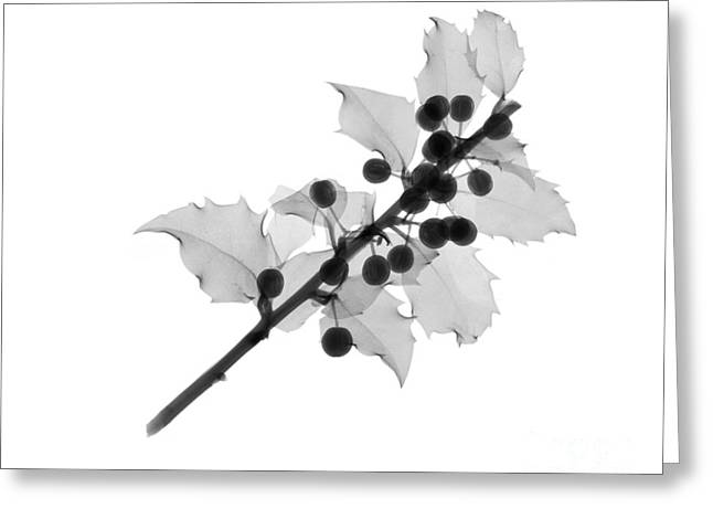 Black Berries Greeting Cards - Holly Greeting Card by Ted Kinsman