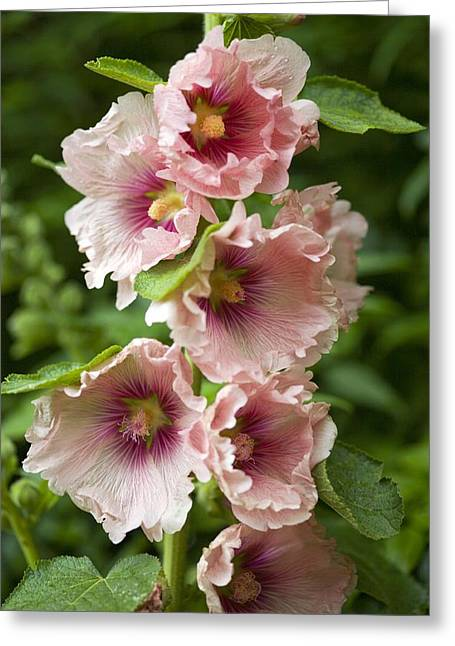 Hollyhock (alcea Rosea) Greeting Card by Dr Keith Wheeler