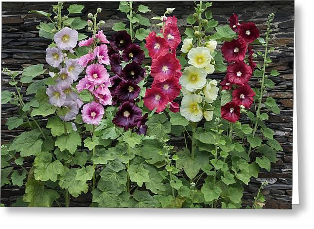 Medium Flowers Greeting Cards - Hollyhock Alcea Rosea Flowers Greeting Card by VisionsPictures