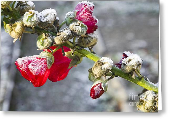 Alcea Rosea Greeting Cards - Hollyhock covered in frost Greeting Card by Kathleen Smith