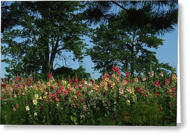 HollyHocks and Trees Greeting Card by Michael L Kimble