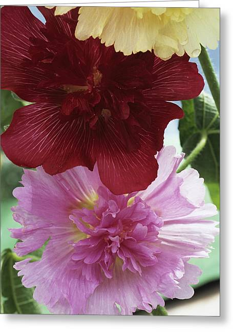Alcea Rosea Greeting Cards - Hollyhocks Greeting Card by Archie Young