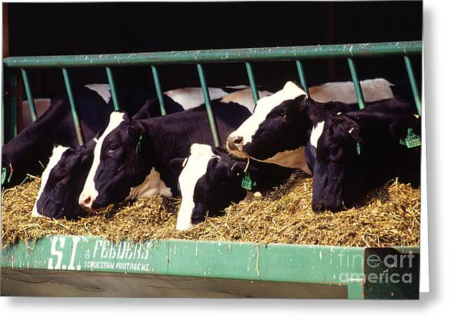 Holstein Dairy Cows Greeting Card by Photo Researchers