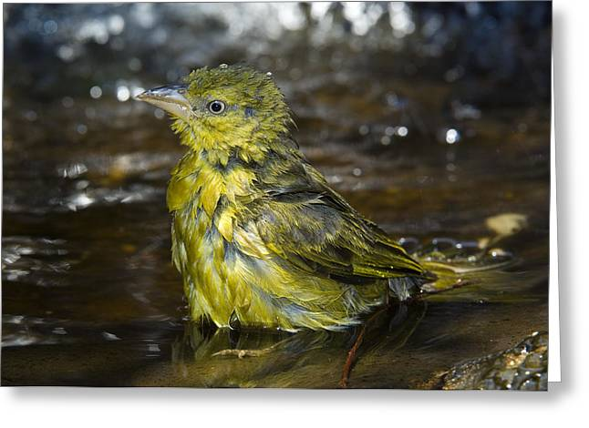 Zambesi River Photographs Greeting Cards - Holubs Golden Weaver Greeting Card by Tony Camacho