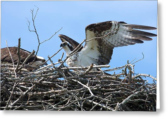 Osprey Photographs Greeting Cards - Home coming Greeting Card by Theo Tan