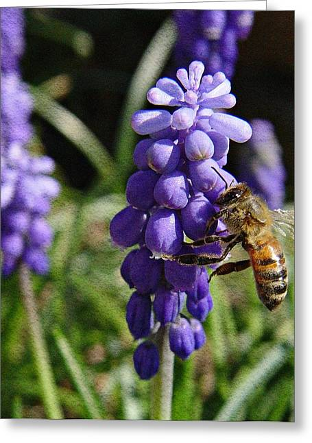 Blue Grapes Greeting Cards - Honey Bee and Grape Hyacinth Greeting Card by Chris Berry