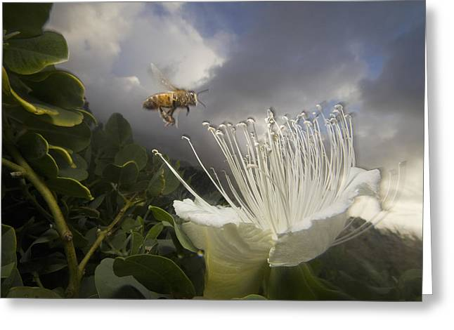 Bee In Flight Greeting Cards - Honey Bee Apis Mellifera Approaching Greeting Card by Mark Moffett