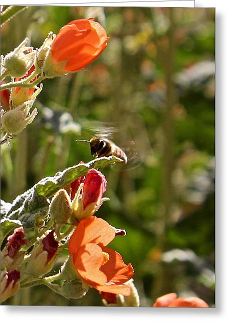 Sphaeralcea Greeting Cards - Honey Bee Greeting Card by Kume Bryant