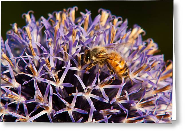 Stinger Greeting Cards - Honey Bee Greeting Card by Matt Dobson