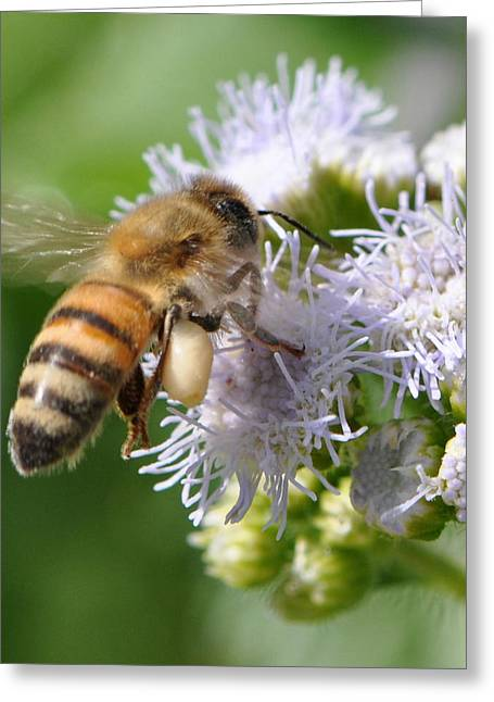 Pollenation Greeting Cards - Honeybee at Work Greeting Card by Christine Stonebridge