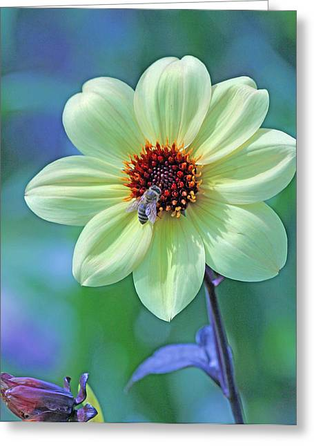 Becky Greeting Cards - Honeybee on yellow flower Greeting Card by Becky Lodes