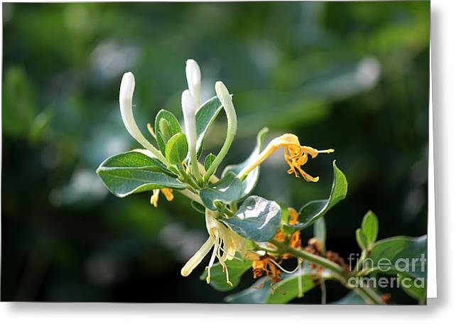Honeysuckle Greeting Card by Theresa Willingham