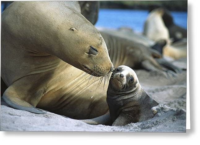 Sea Lions Greeting Cards - Hookers Sea Lion Phocarctos Hookeri Cow Greeting Card by Tui De Roy
