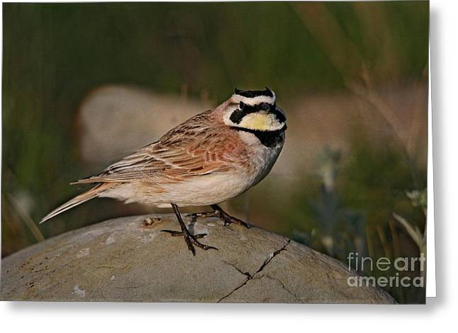 Horned Larks Greeting Cards - Horned Lark Greeting Card by Vickie Emms