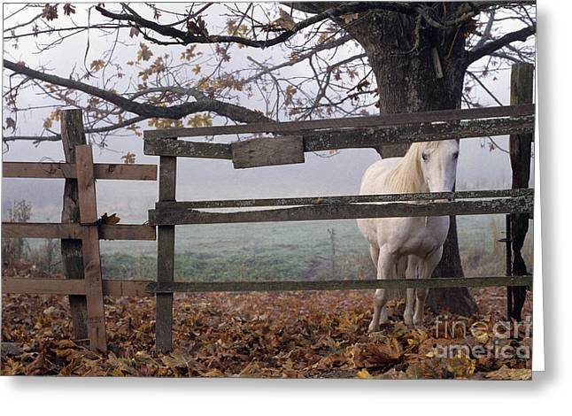 Horse at Fence Greeting Card by Jim Corwin and Photo Researchers