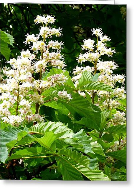 Thrive Greeting Cards - Horse Chestnut Blossoms Greeting Card by Will Borden
