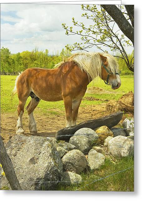 Brown Horse Photographs Greeting Cards - Horse Near Strone Wall In Field Spring Maine Greeting Card by Keith Webber Jr