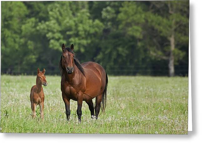 Equus Ferus Caballus Greeting Cards - Horse With A Colt Winnipeg Manitoba Greeting Card by Susan Dykstra