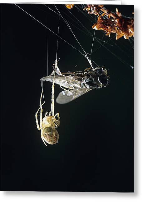 Spun Web Greeting Cards - Horsefly Caught In A Spiders Web Greeting Card by David Aubrey