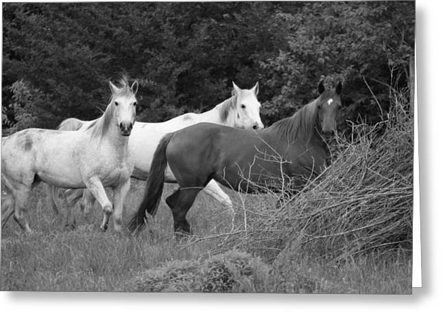 Horses In Black And White Greeting Card by Rick Rauzi