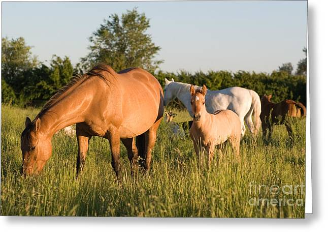 Horses In Green Grassy Pasture Greeting Card by Cindy Singleton