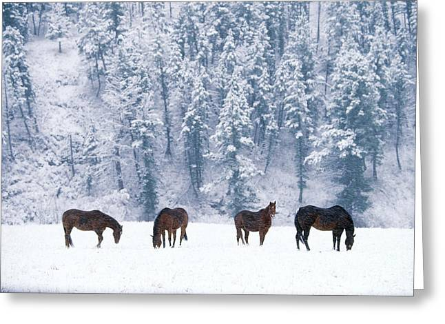 Chordata Greeting Cards - Horses in the Snow Greeting Card by Alan and Sandy Carey and Photo Researchers