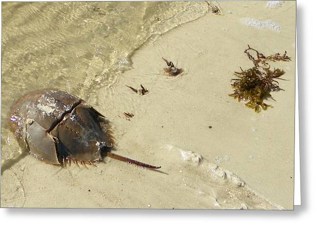 Horseshoe Crab I Greeting Card by Sheri McLeroy