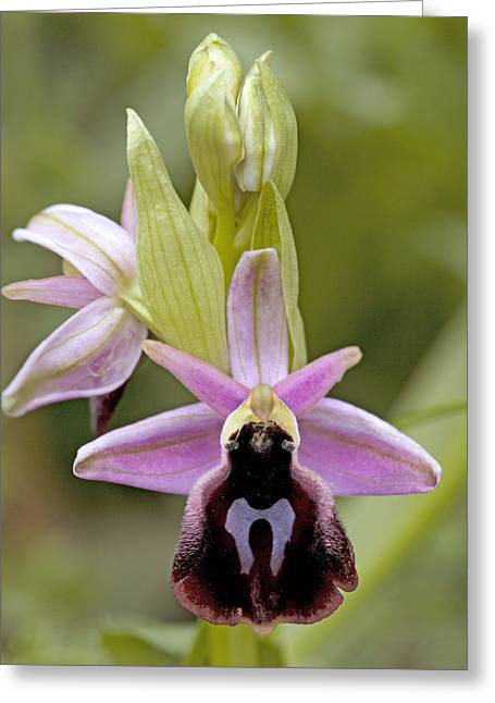 Ferrum Greeting Cards - Horseshoe Orchid (ophrys Ferrum-equinum) Greeting Card by Bob Gibbons