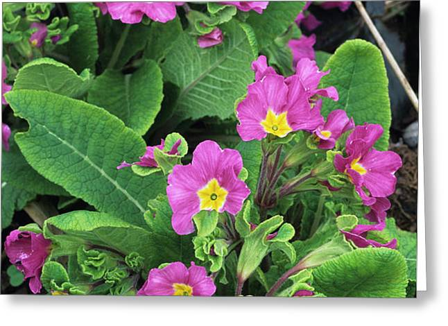 'hose-in-hose' Primroses Greeting Card by Adrian Thomas