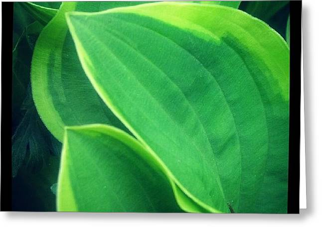 Christy Bruna Greeting Cards - Hostas Leaves Greeting Card by Christy Bruna
