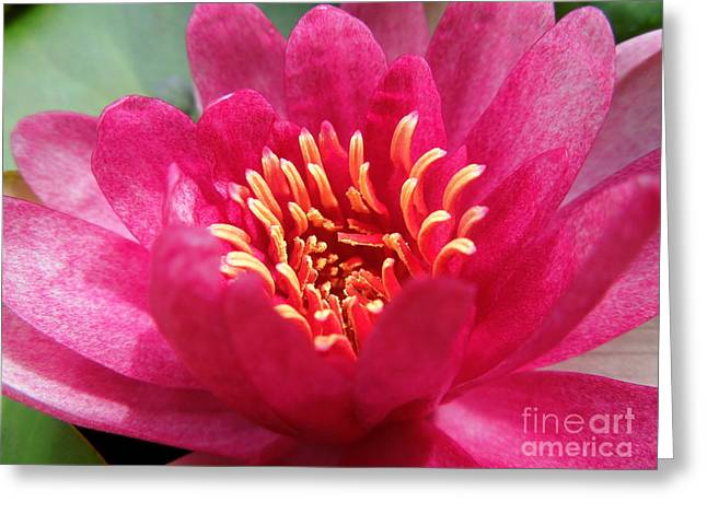 Water Lilly Greeting Cards - Hot Pink Water Lily Greeting Card by Renee Trenholm