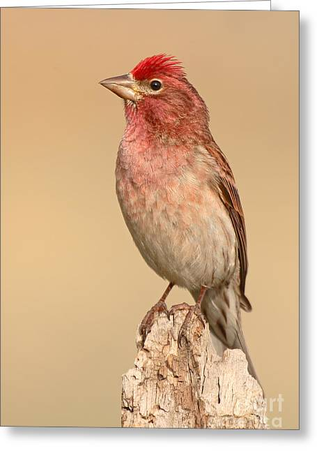 House Finch Greeting Cards - House Finch With Crest Askew Greeting Card by Max Allen