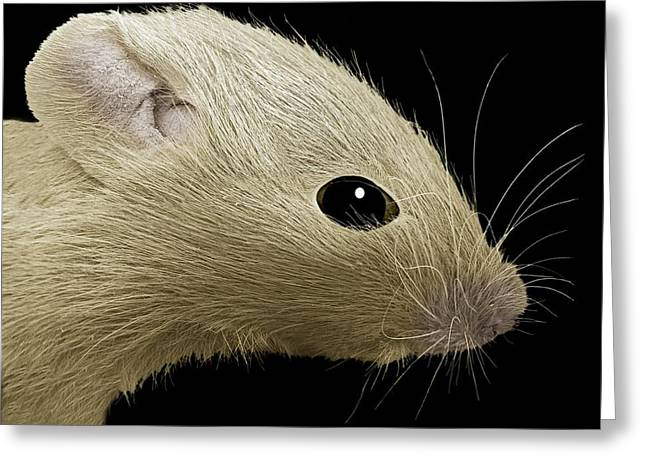 False-colour Greeting Cards - House Mouse, Sem Greeting Card by Steve Gschmeissner