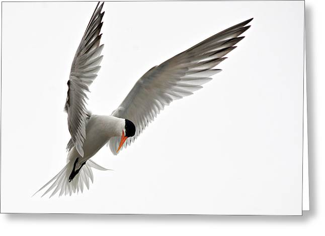 Tern Greeting Cards - Hover Greeting Card by Fraida Gutovich