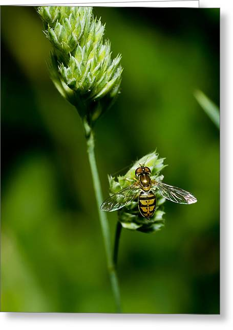 Acylic Greeting Cards - Hoverfly on Grass Greeting Card by Lori Coleman