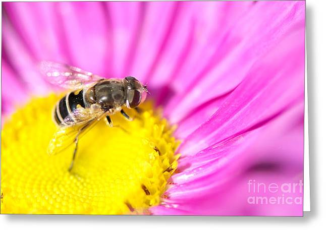 Asters Greeting Cards - Hoverfly on Pink Aster Greeting Card by Sharon  Talson
