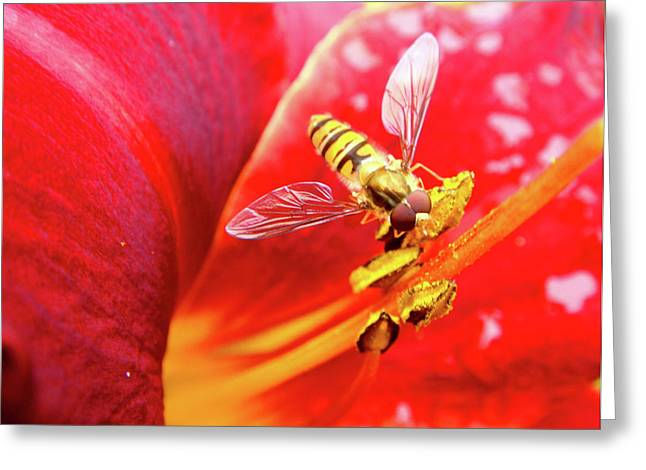 Roberto Alamino Greeting Cards - Hoverfly Greeting Card by Roberto Alamino